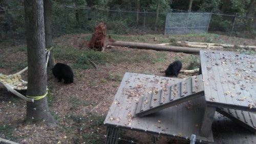 Bears at Bear Hollow
